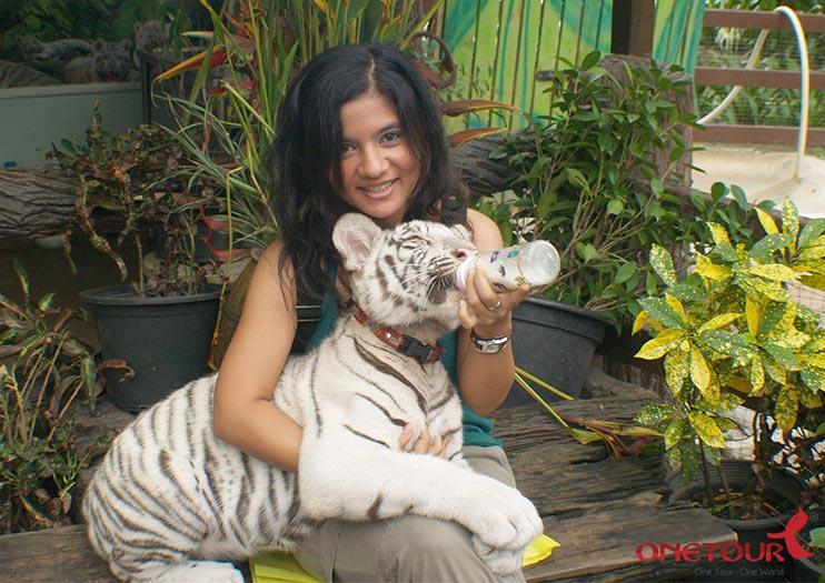 Sau đó, HDV đón đoàn, đưa Quý khách tham quan Trại Hổ Tiger Zoo xem các tiết mục biểu diễn như : xiếc hổ, xiếc voi, xiếc lợn…