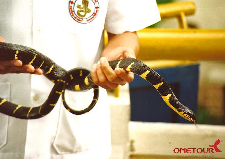 Viện Nghiên Cứu Rắn Hoàng Gia Thái Lan (Snake Farm) thưởng thức màn trình diễn hấp dẫn xiếc rắn, múa rắn, lấy nọc rắn…