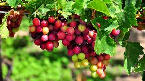 Dọc đường từ Ninh Thuận đi Vĩnh Hy, quý khách có dịp ghé thăm các vườn nho, thưởng thức siro nho, rượu nho và ăn trực tiếp nho tại vườn